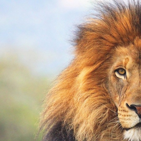 Lion Rescue & Relocation